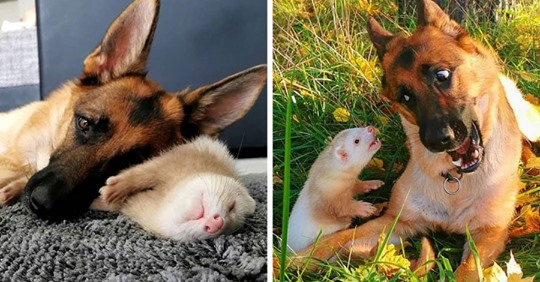 Овчарка и хорёк подружились и покорили пользователей сети своими тёплыми чувствами