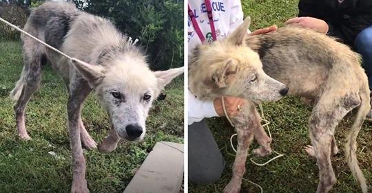 Волонтёры спасли пса, 2 года сидевшего на цепи, и показали, в какого красавчика его превратили любовь и забота