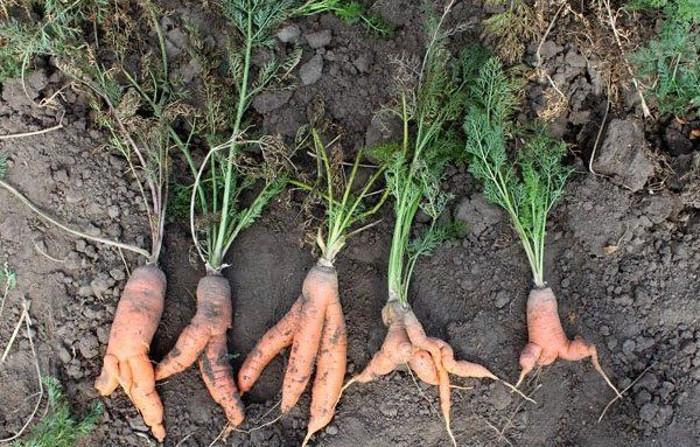 В прошлом году вырастила кривую морковь с пальцами. Каких ошибок я больше никогда не повторяю при выращивании моркови