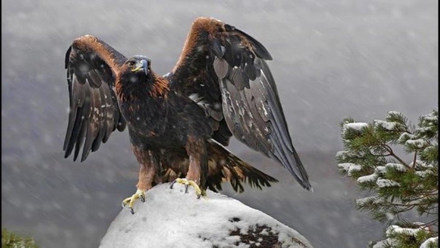 Беркуты одобрили гнездо, сделанное людьми, и вывели цыпленка – в Шотландии всеми силами стараются спасти редких птиц