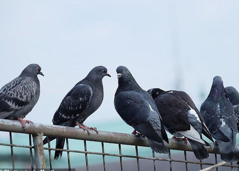 Ученые выяснили, что голуби, чем толще, тем выше стоят на иерархической лестнице и больше чувствуют себя мачо