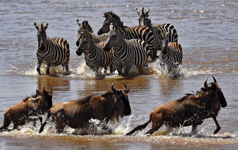 Миграция млекопитающих: в Кении туристы могут наблюдать редкое явление природы