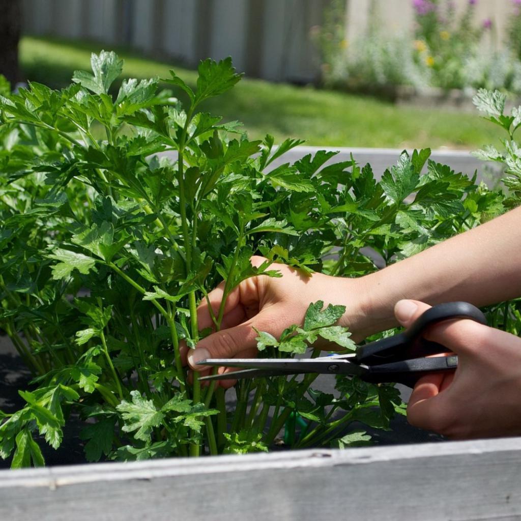 Петрушка может стать токсичной: когда можно и нельзя ее употреблять в пищу
