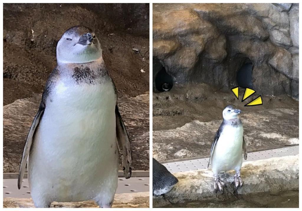 Будто окаменел. Посетителей аквариума смутил неподвижно стоящий пингвин: оказалось, все дело в потолке