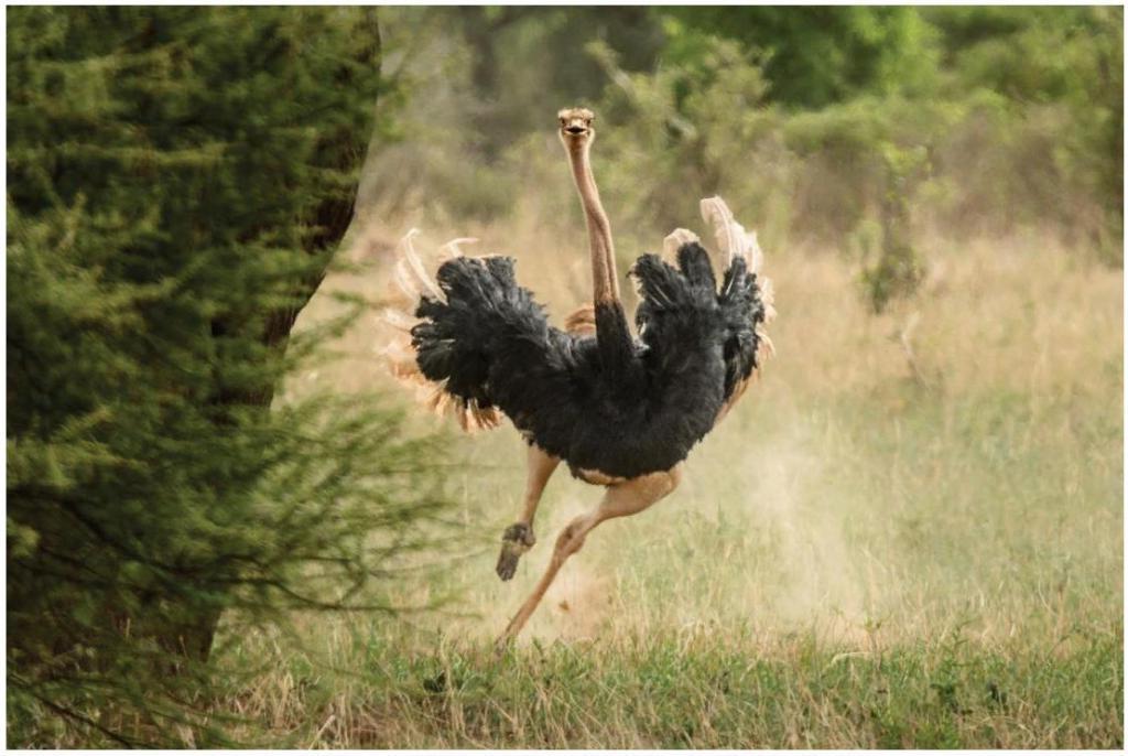 Страусы далеко не дураки: забудьте о глупом стереотипе. Эти большие птицы благодаря своей хитрости выжили в мире хищников