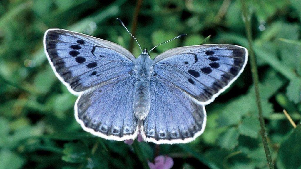 Бабочки, считавшиеся исчезнувшими, вернулись на Туманный Альбион. Эксперты ликуют: им удалось вернуть популяцию голубянки арион