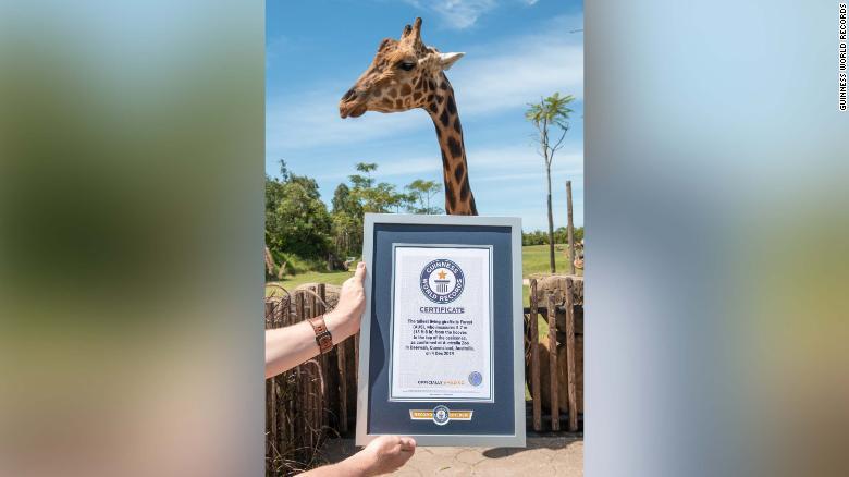 Ему видней: самый высокий жираф в мире получил титул Короля жирафов