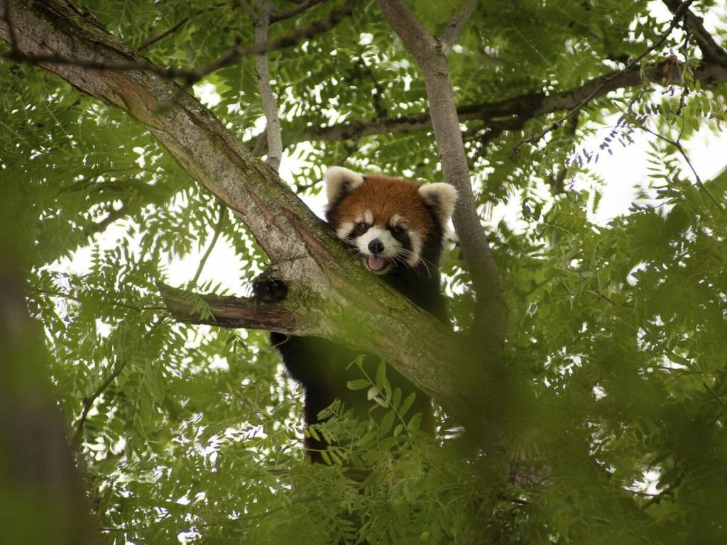Красная панда, пропавшая из зоопарка в Огайо, вернулась домой - радости сотрудников не было конца