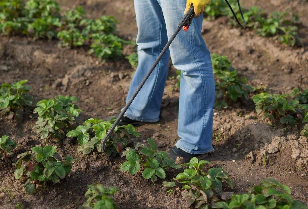 Чем подкормить клубнику в августе, чтобы собрать богатый урожай в следующем году