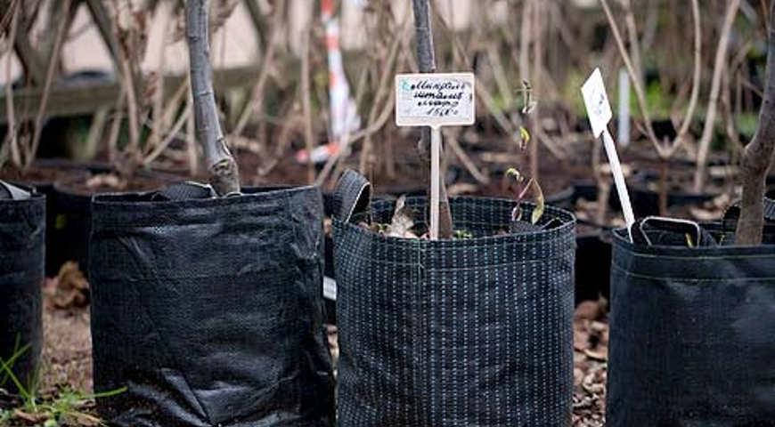 Когда покупаю саженцы плодовых деревьев, смотрю, есть ли на стволе шрам: правила выбора