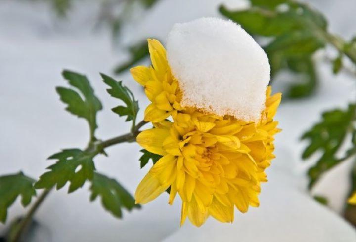 Хризантемы после дождя на зиму не укрываю, жду устойчивых отрицательных температур