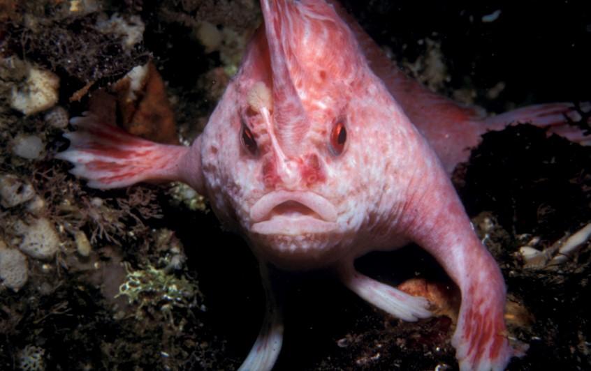 Ученые обнаружили одиннадцать видов рыб, которые способны передвигаться по суше. Пещерный ангел   один из этих видов (фото)