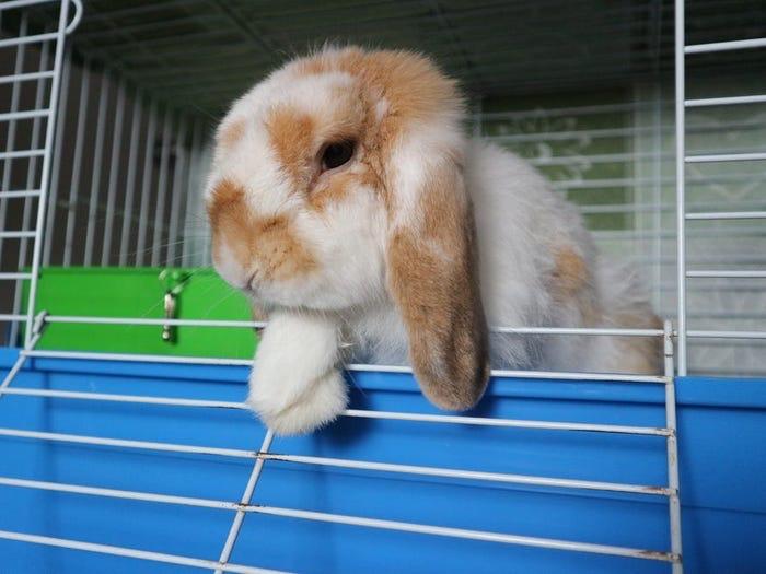 Не кормите кролика салатом айсберг, он токсичен для него. 11 вещей, которые запрещены кроликам