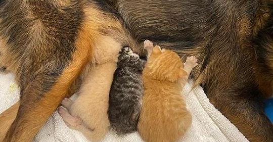 Собака стала приемной мамой осиротевшим котятам. И какой мамой!