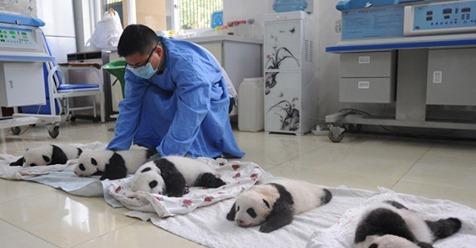 Умиляющее зрелище: милые маленькие медвежата панды в корзинках