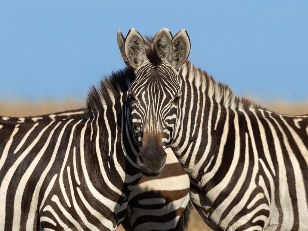 Это не оптическая иллюзия, а реальная фотография: которая из двух зебр смотрит в объектив камеры