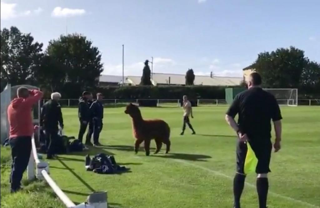 Веселый злоумышленник: момент, когда альпака вторгается на футбольный матч, сняли на видео