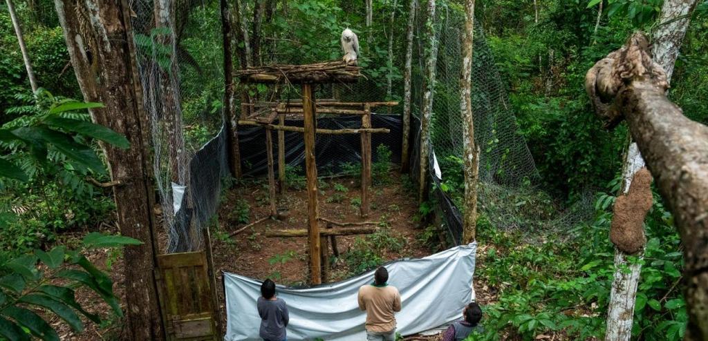 Сборщики бразильских орехов, землевладельцы и операторы экотуризма объединяют усилия в рамках инновационной программы по спасению орлов-гарпий