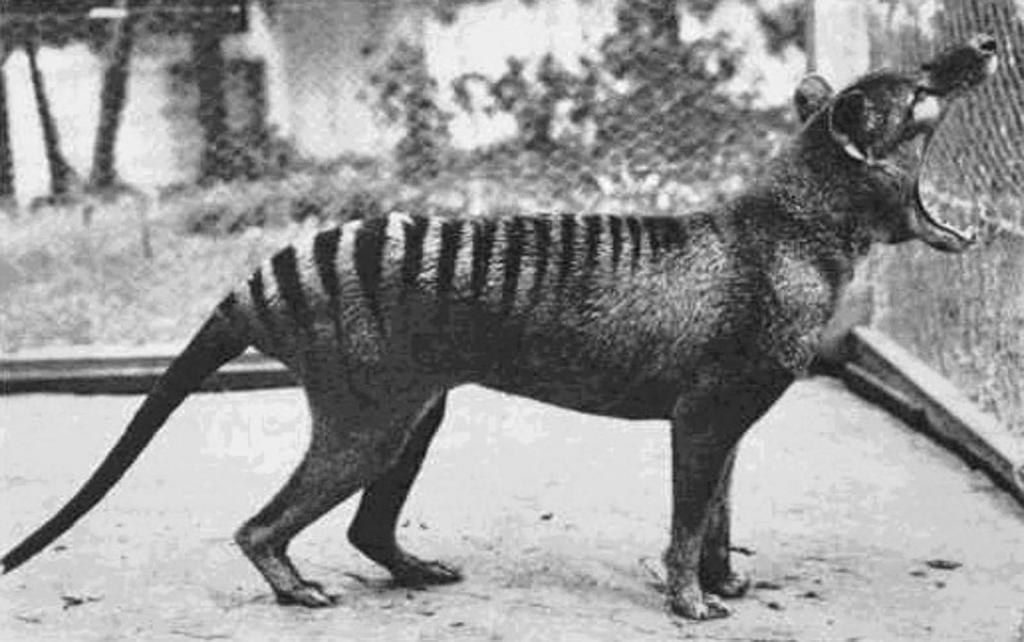 Последний тасманийский тигр: редкие фотографии хищника, которого в наше время можно увидеть только на страницах учебников