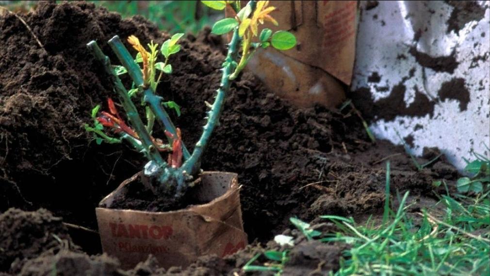 Середина осени – лучшее время для посадки корневых роз, начало весны – для их обрезки: рекомендации опытного практика, автора книг по садоводству Андреаса Барлаге