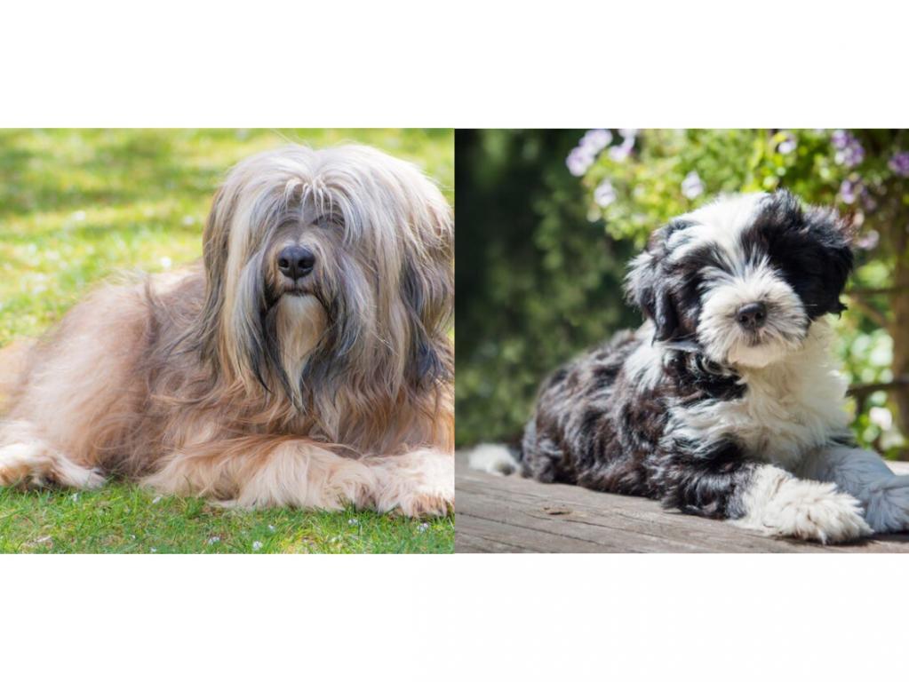 Взрослые бриары имеют в два раза больше шерсти. 10 пород собак, которые не похожи на себя в щенячьем возрасте