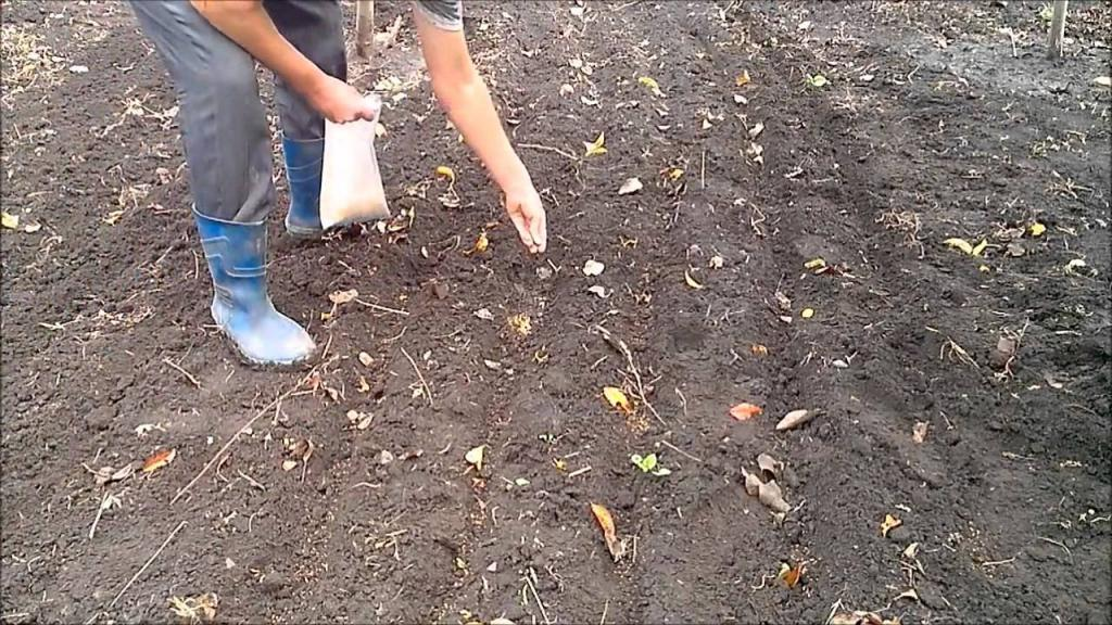 Когда собираю весь урожай, сею в огороде горчицу: сорняки у меня не растут