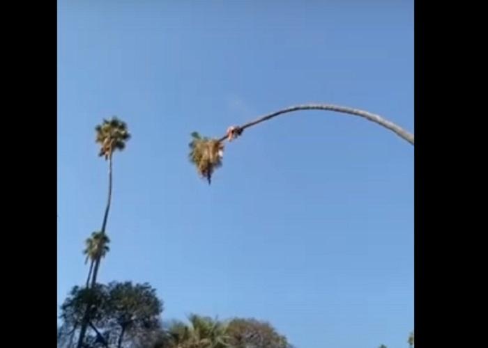 Мужчина срезал верхушку огромной пальмы и бесплатно покатался на  аттракционе  (видео)