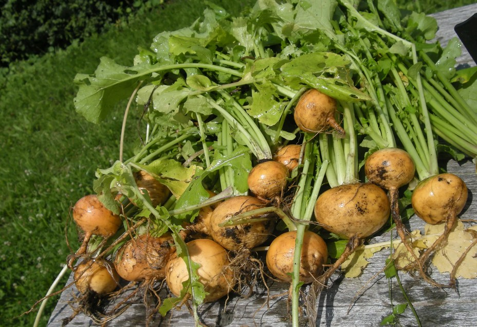 26 сентября - День Корнилия: в это время убирают редьку, репу и другие корнеплоды - с этого времени «корень в земле не растет, а зябнет»