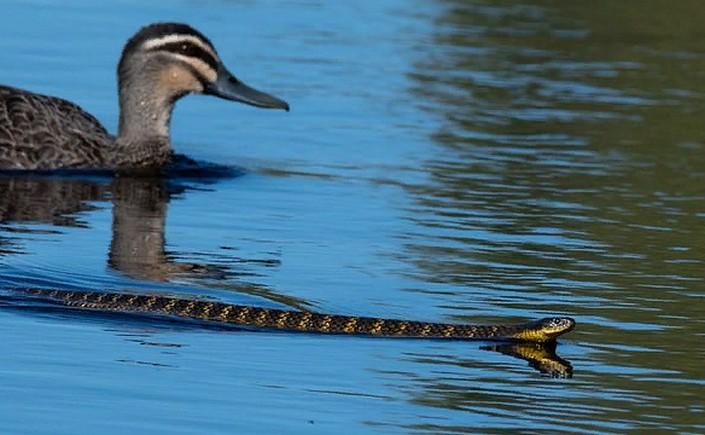 Невиданное дело: три утки спасают главного своего врага – тигровую змею