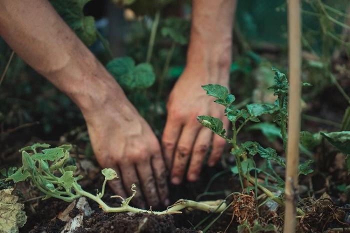 Осенью не жгу картофельную ботву: у меня для нее масса применений