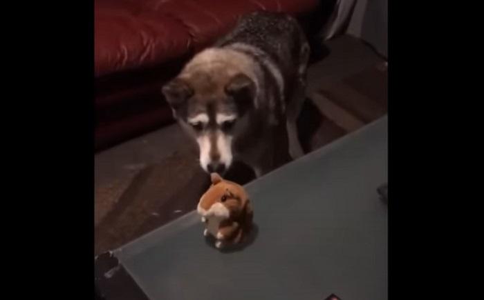 Пес очень смешно пообщался с игрушечным хомяком, воспроизводящим звуки (видео)