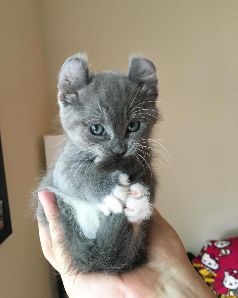 Это фото котенка с торчащими ушками было сделано 4 года назад: сейчас из крохи выросла обаятельная и очень красивая кошка