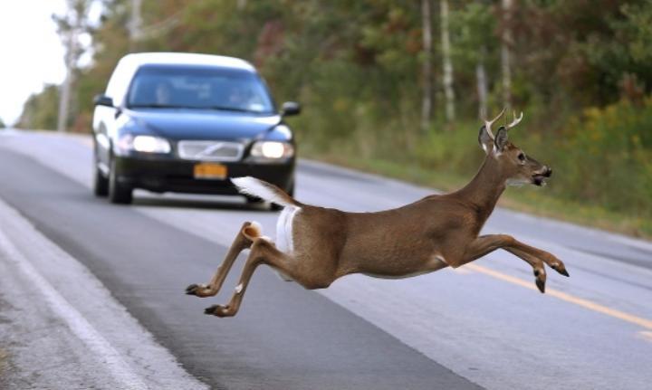 Что делать, если внезапно выскочил олень перед машиной? Почему нельзя уворачиваться в сторону