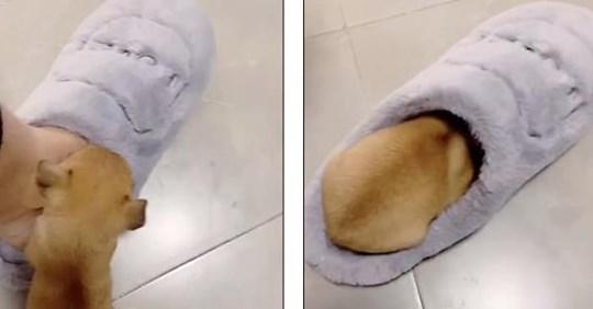 Крошка-щенок отобрал у хозяйки мягкий тапочек и стал кумиром соцсетей!