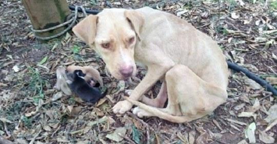 Хозяин отвел беременную собаку в лес, привязал там к дереву и просто ушел