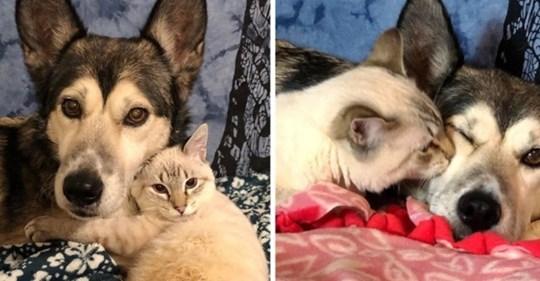 Котёнок, который не может ходить, научился ездить и нашёл самую лучшую маму в лице хаски