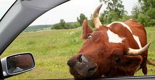 Анекдот: Стоит дедок с коровой и машину ловит. Останавливается джип. Стекло опускается, мужик говорит