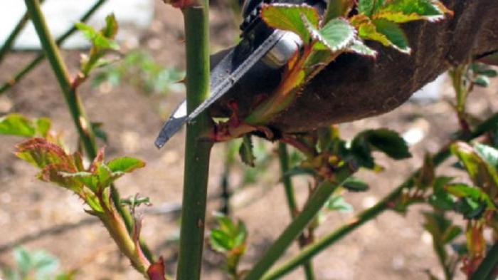 Чтобы на следующий сезон розы радовали своим цветением, нужно сделать правильную обрезку осенью