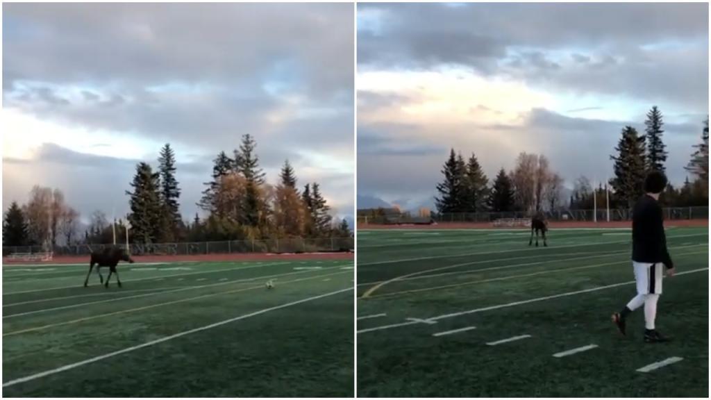 Во время футбольного матча на Аляске лось показал игрокам мастерство владения мячом (видео)