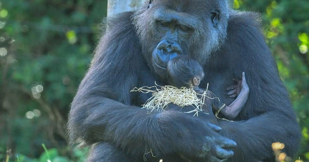 Радости нет предела: детеныша 9-летней гориллы в Бристольском зоопарке вернули матери через 4 месяца искусственного вскармливания