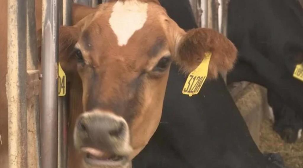 В Австралии сбежавшую корову нашли на батуте - она не могла слезть