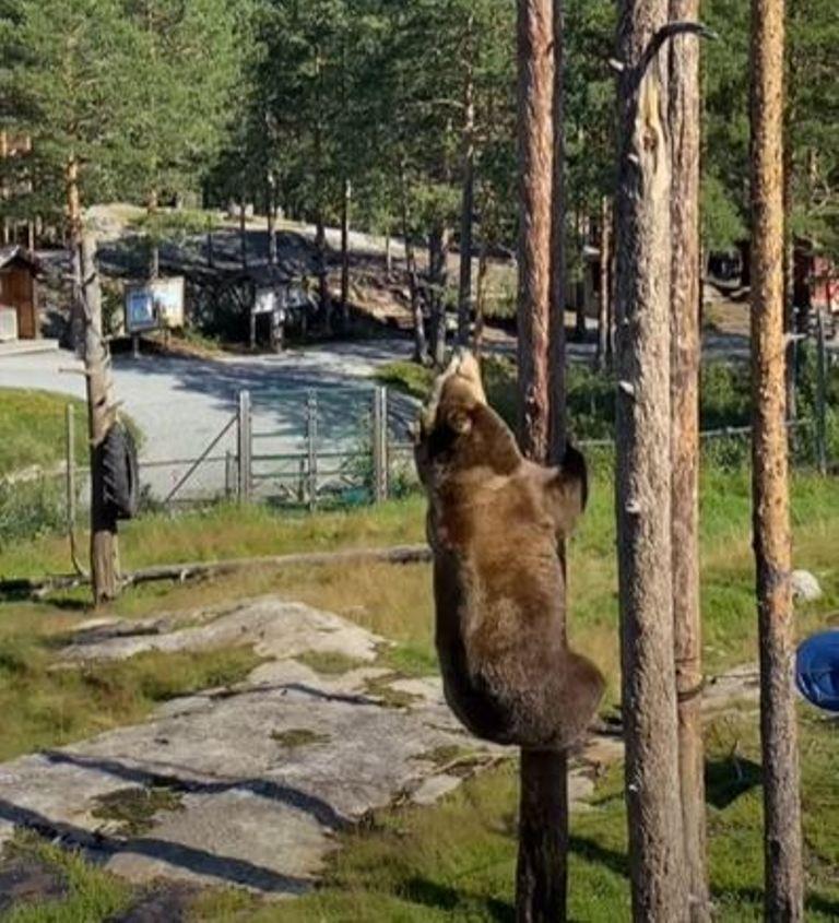 Не знала, что медведь может забраться на дерево с такой скоростью и легкостью (видео)