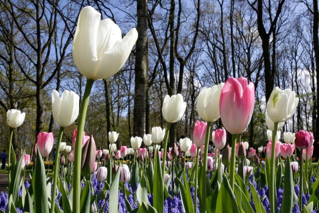 Привезла из нидерландского Кекенхофа, крупнейшего цветника мира, луковицы тюльпанов. Посадила на балконе в обычные горшочки: какая красота выросла (фото)