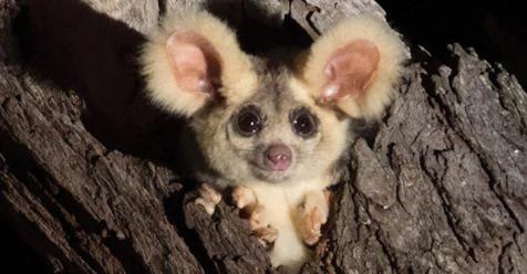 В Австралии найдены очаровательные мохнатые ушастики