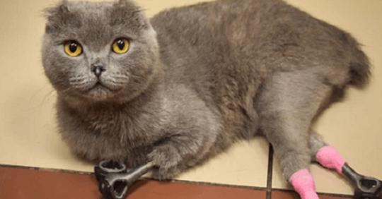 Кошка, с отмороженными лапками, получила второй шанс в виде протезов