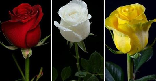 Выберите Розу И Узнайте Что То Новое О Своих Чувствах!