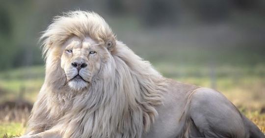 Мойя — самый красивый белый лев в мире