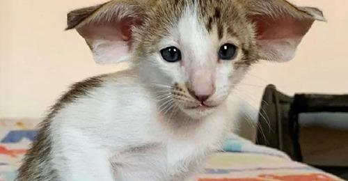 Котенок уже устал от одиночества, ведь его никто не хочет забирать из за больших ушей и клыков