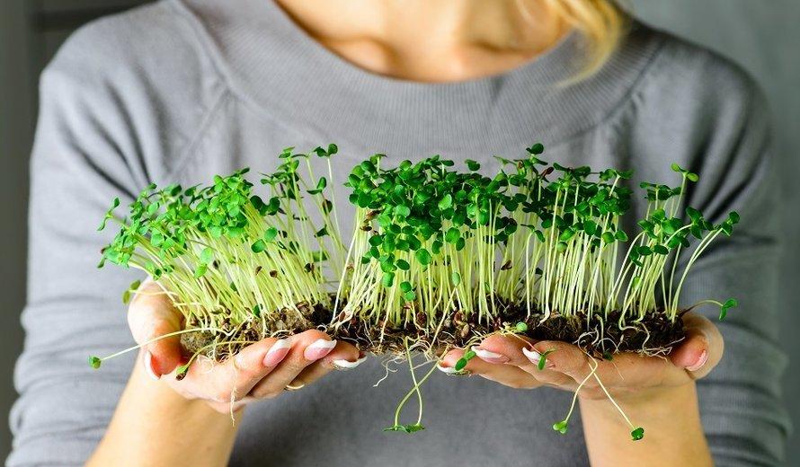 Кресс-салат, руккола, люцерна: так легко самому вырастить микрозелень в банке и без нее