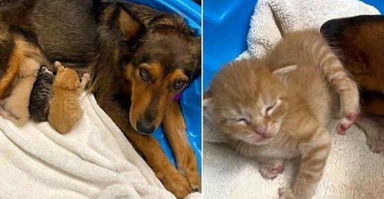 Когда собака потеряла своих щенков, то стала мамой для осиротевших котят, доказав, что чужих детей не бывает